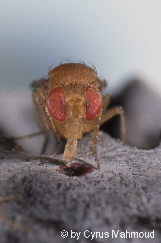 Drosophila, Fruchtfliege