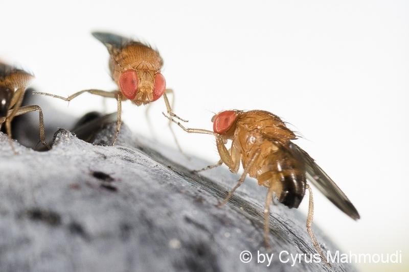 Drosophila, Fruchtfliege