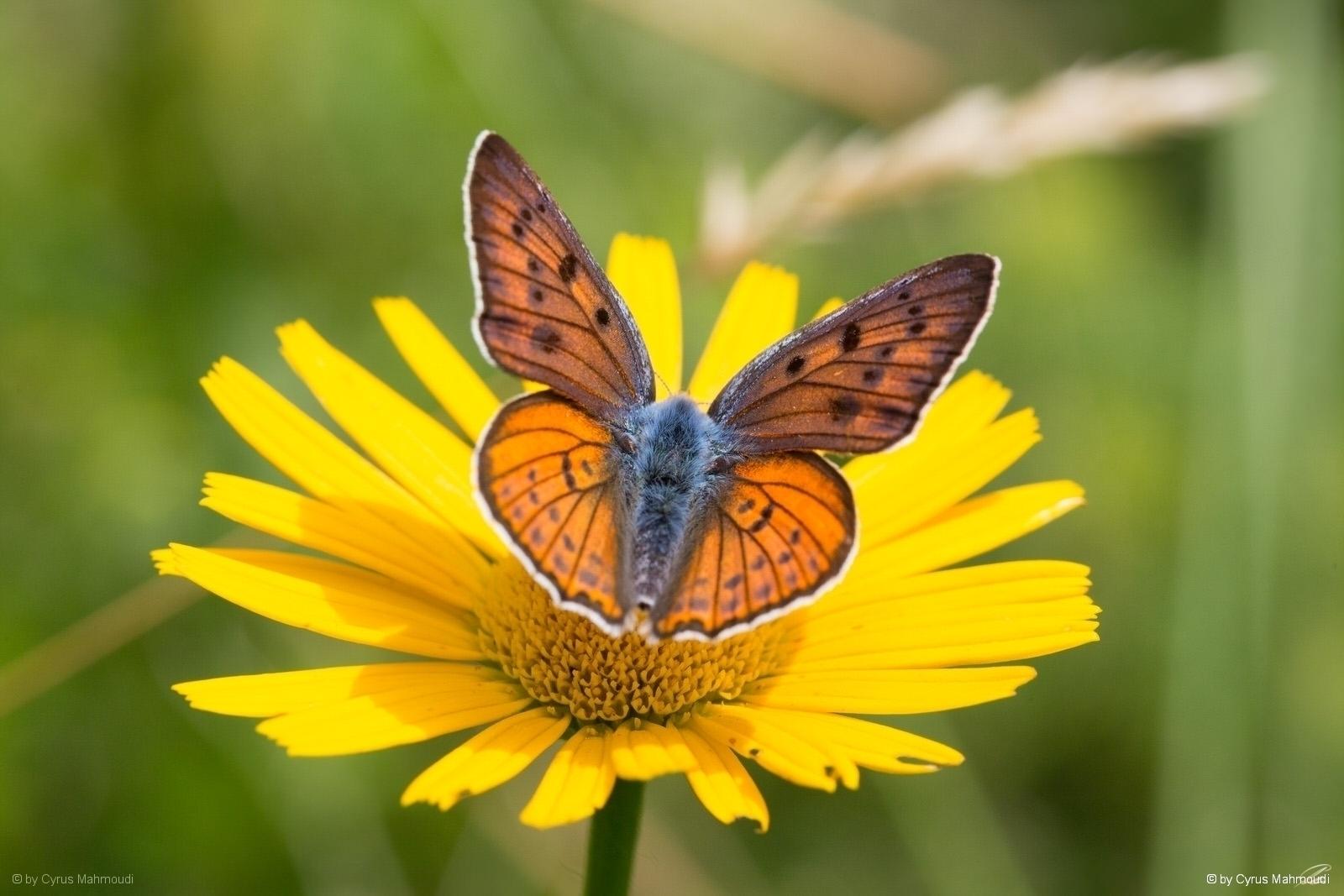 Nr.611 - Violetter Feuerfalter - Lycaena alciphron, Bovec