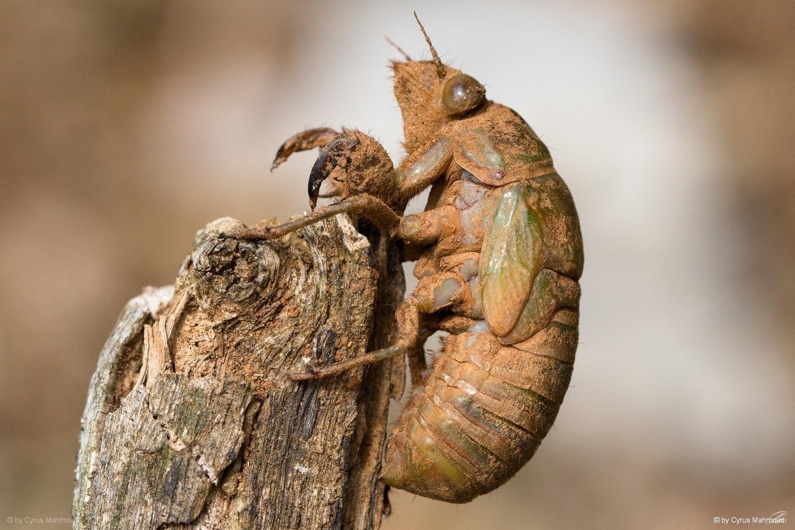 Nr.619 - Mannasingzikade (Larve) - Cicada orni