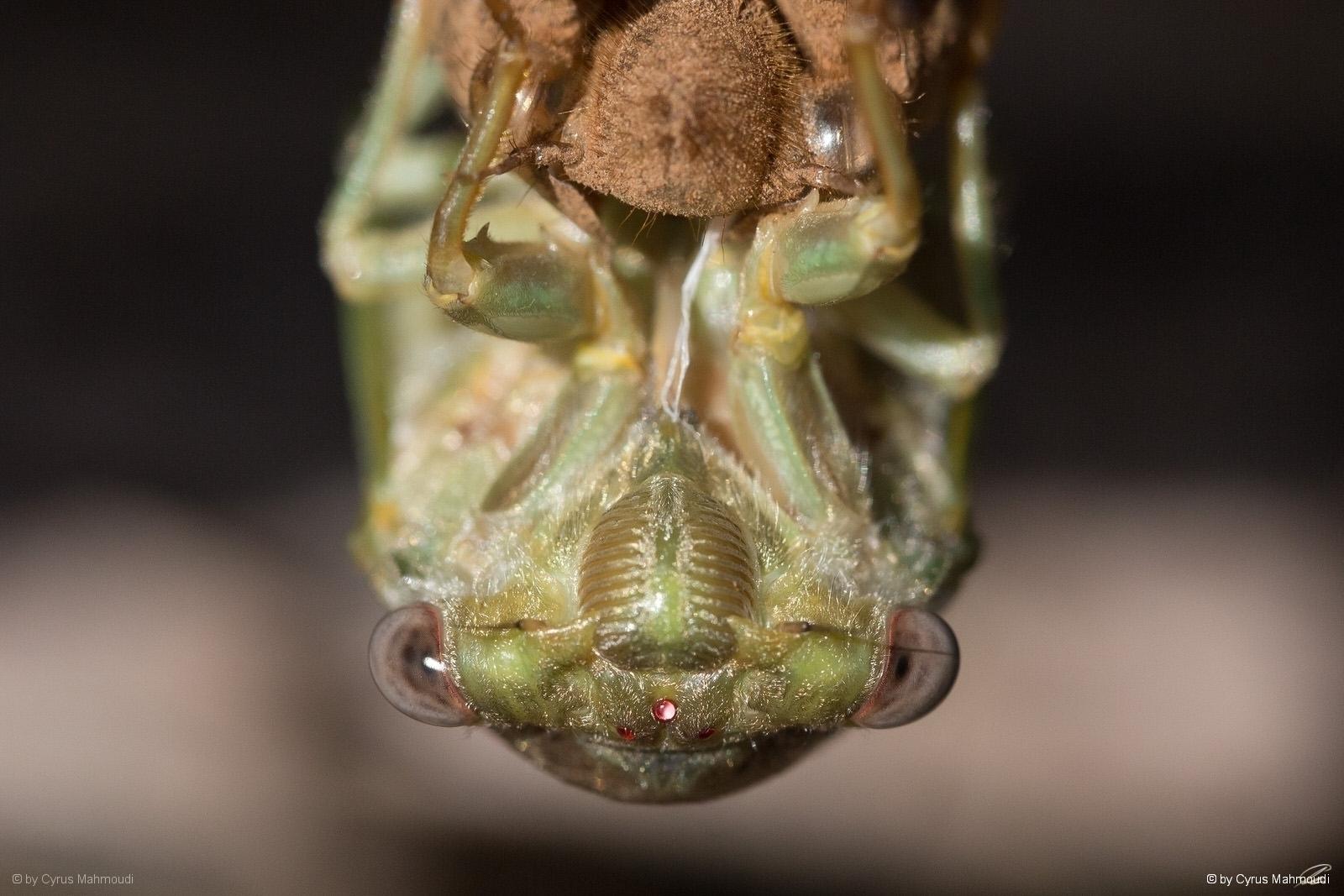 Nr.620 - Mannasingzikade - Cicada orni