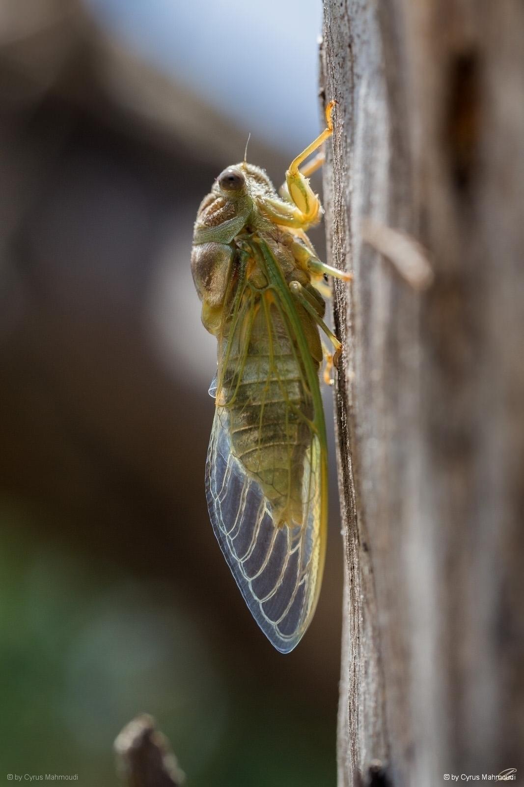 Nr.621 - Mannasingzikade - Cicada orni, Cres