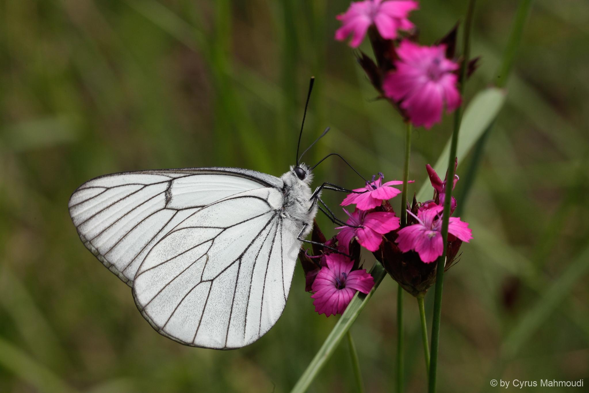 Lepidoptera-105