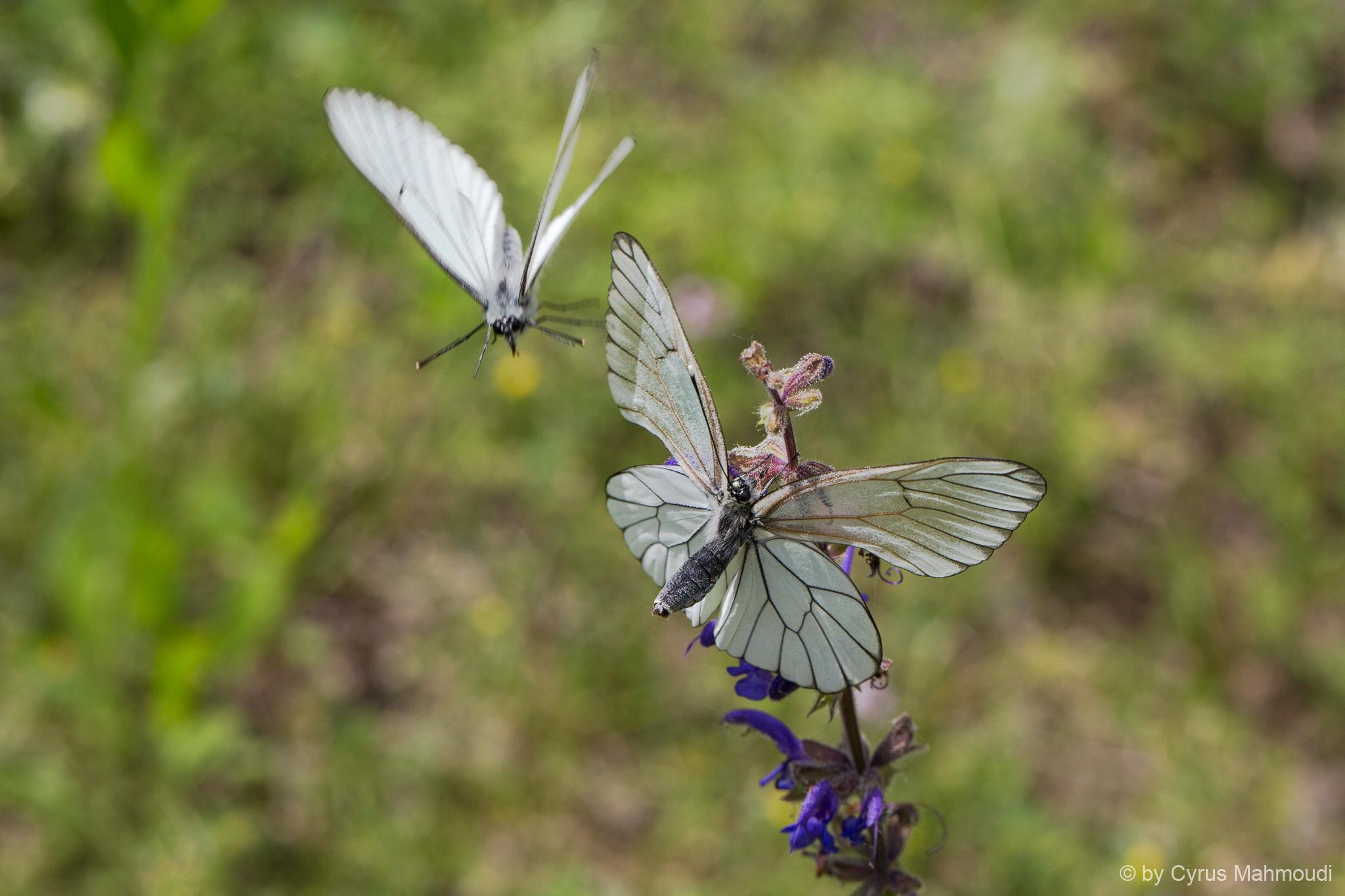 Lepidoptera-107