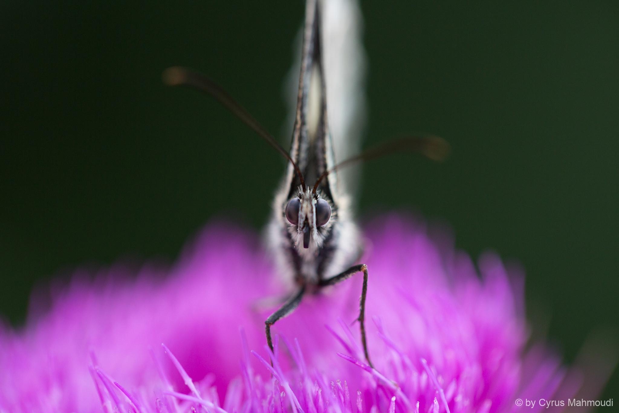 Lepidoptera-111