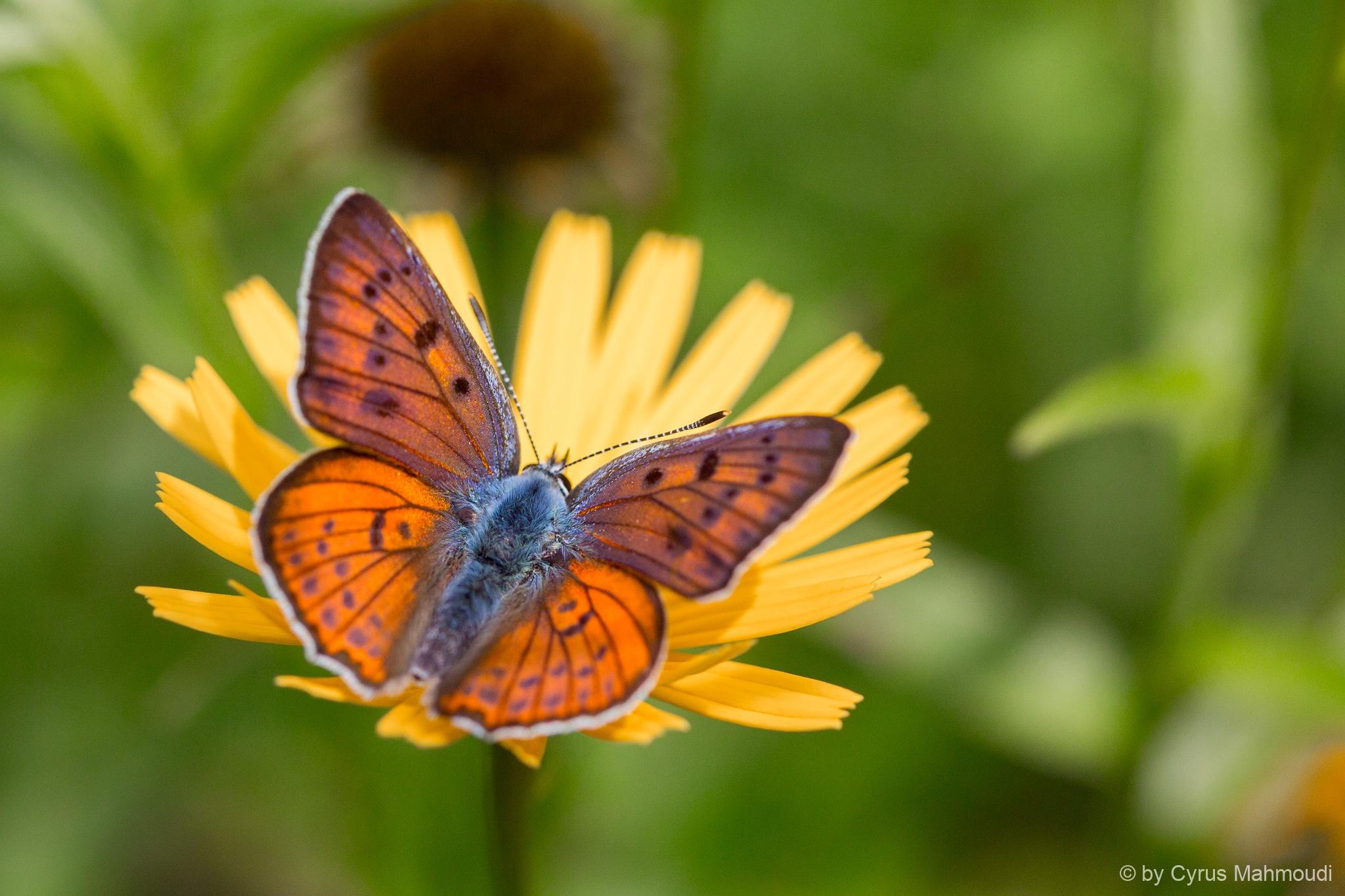 Lepidoptera-113