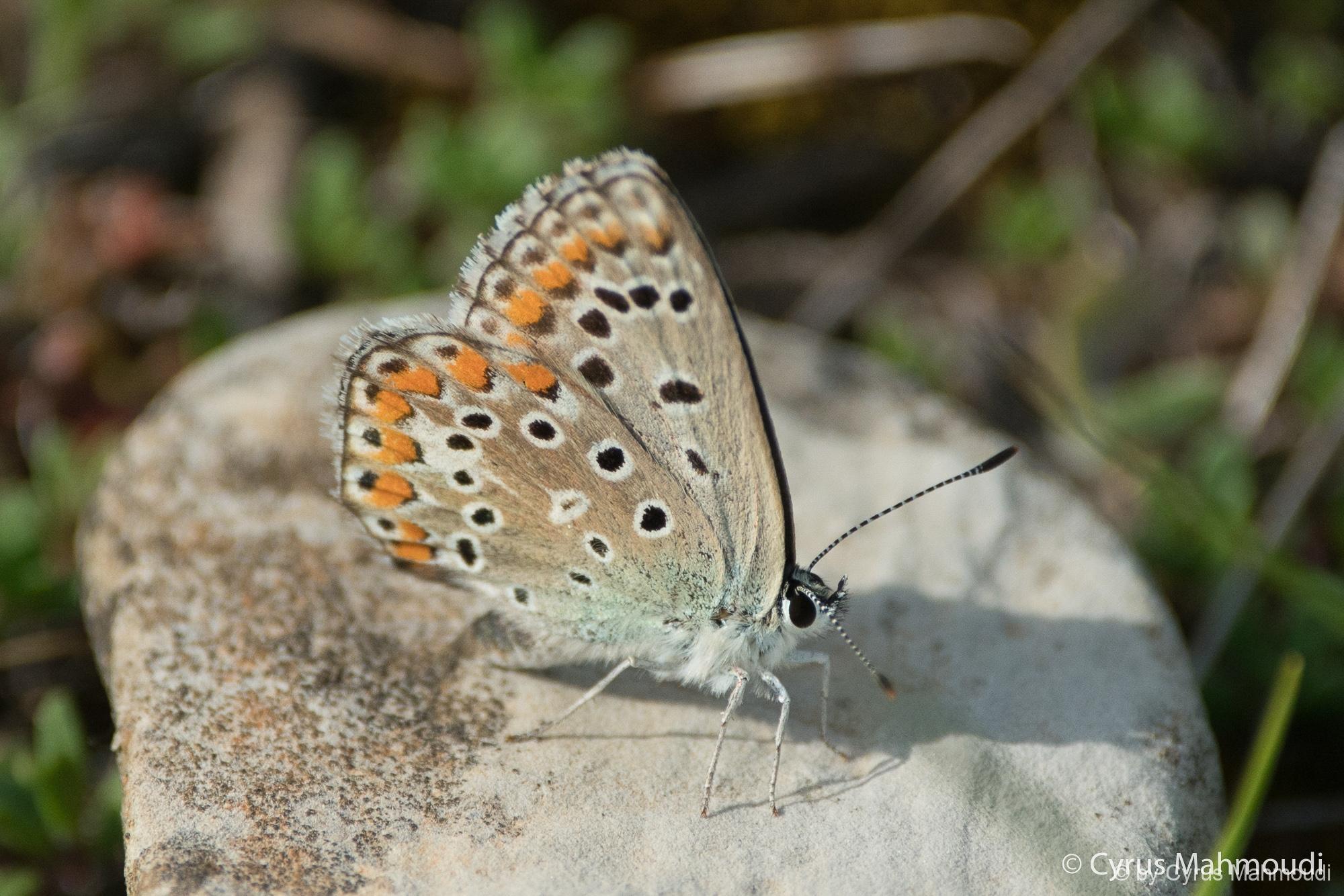 Lepidoptera-12