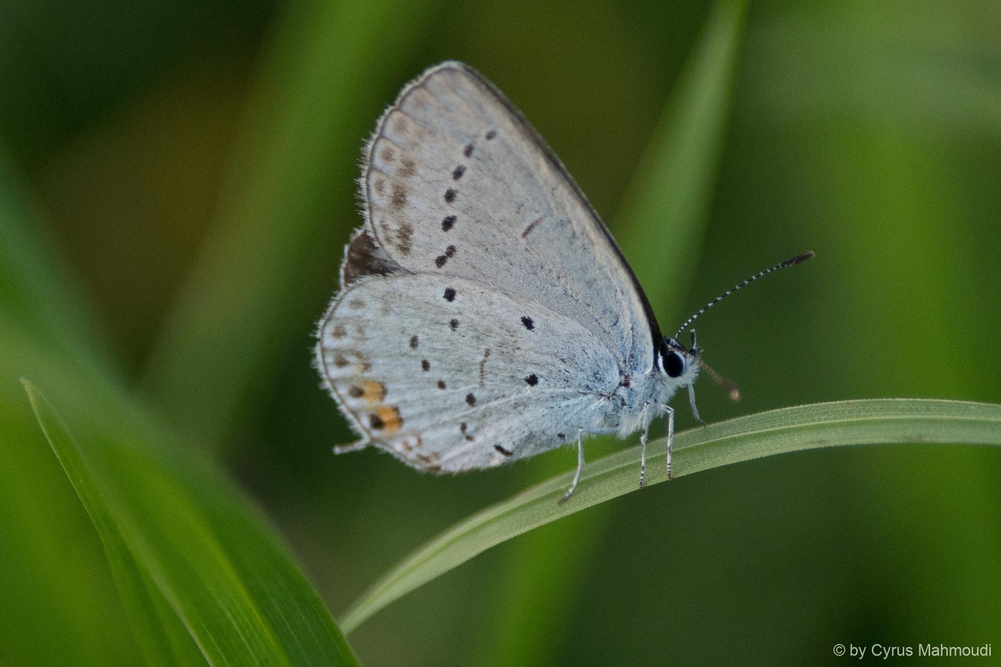 Lepidoptera-13