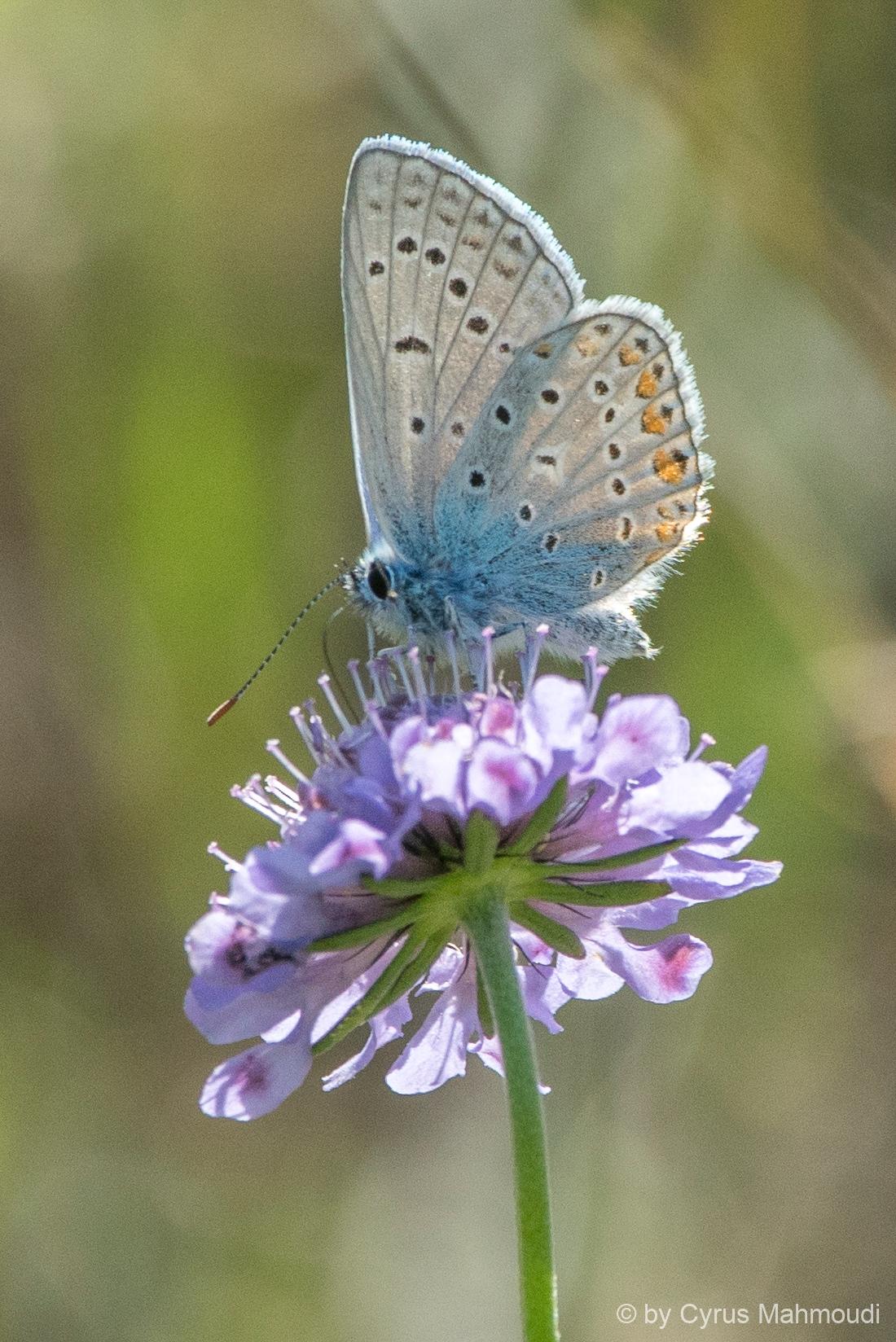 Lepidoptera-14