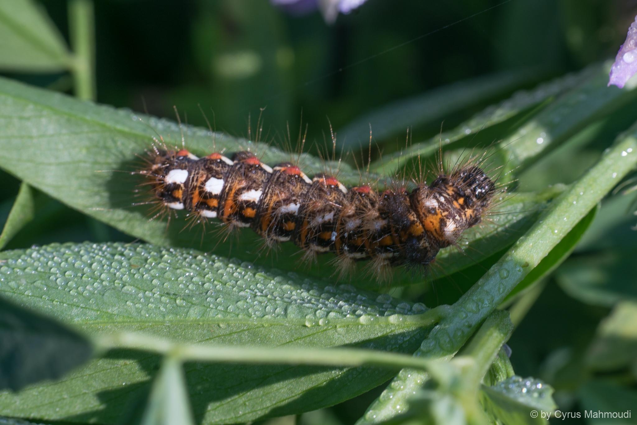 Lepidoptera-141