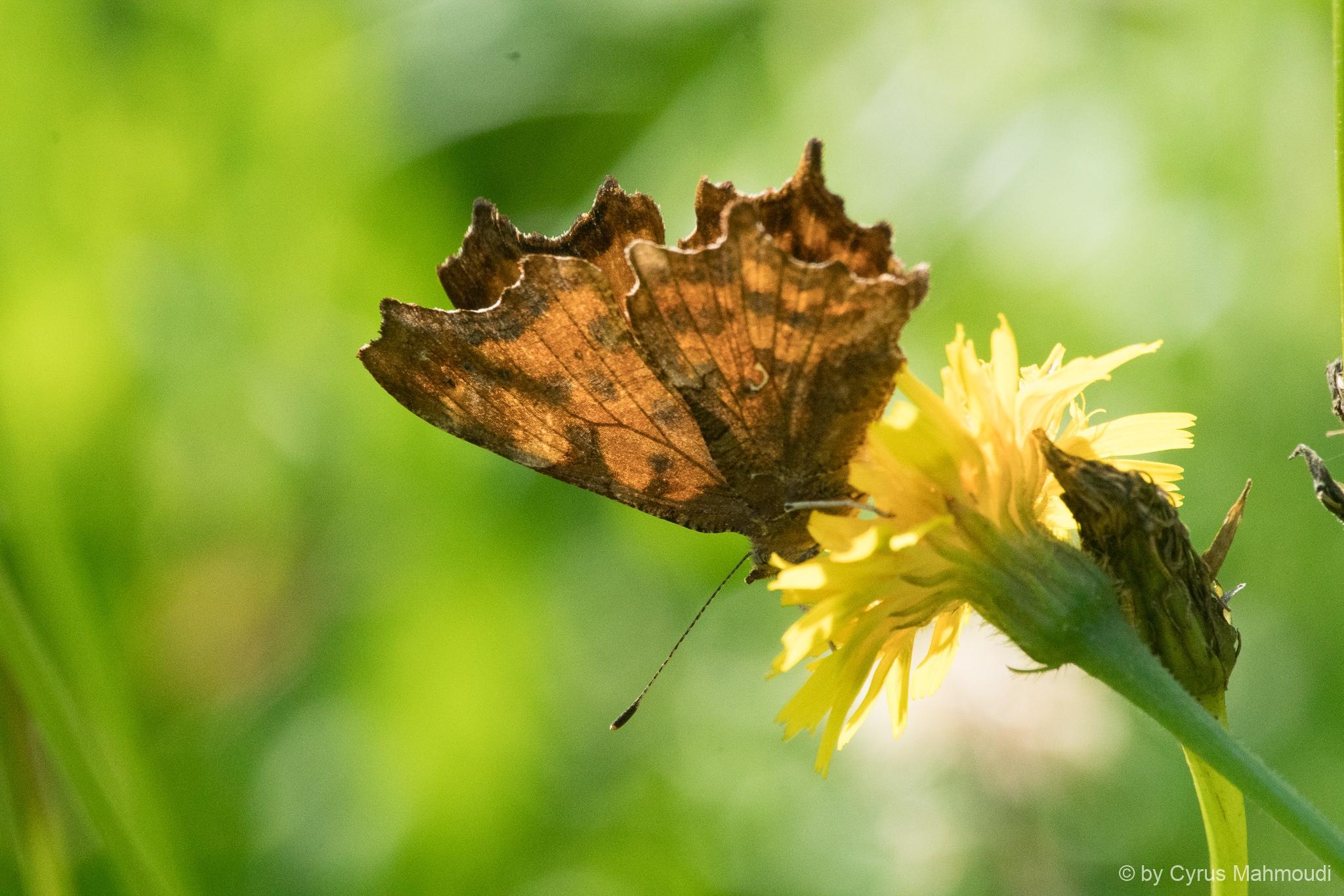 Lepidoptera-143