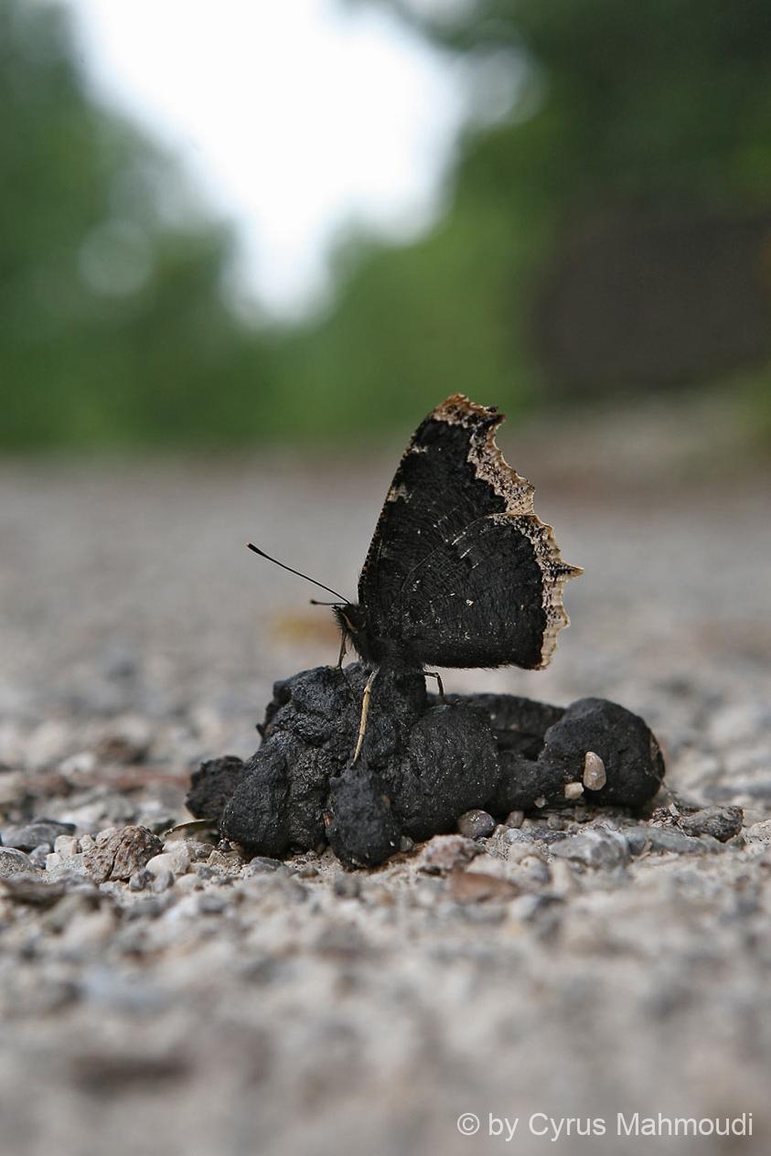 Lepidoptera-28