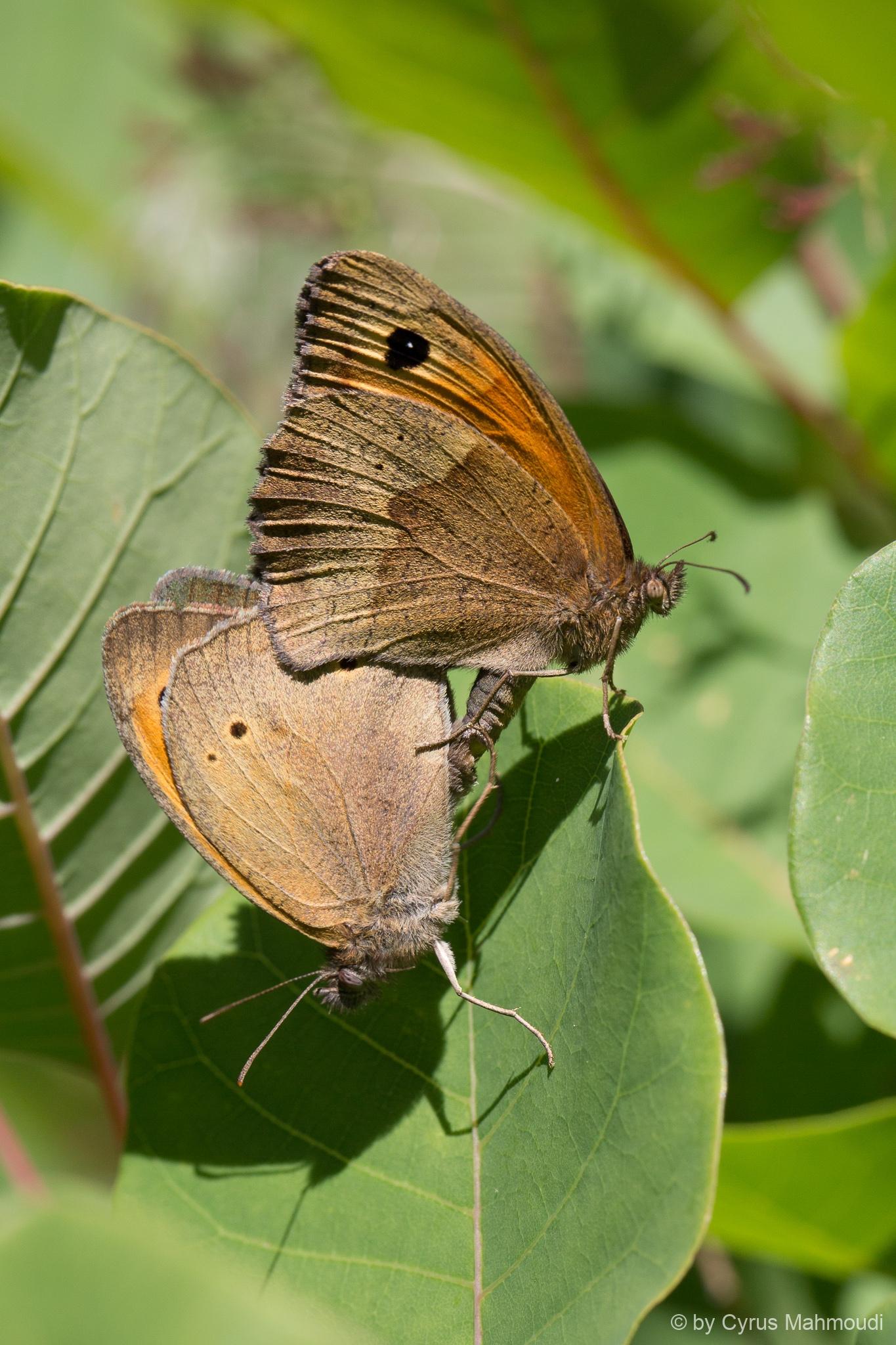 Lepidoptera-31