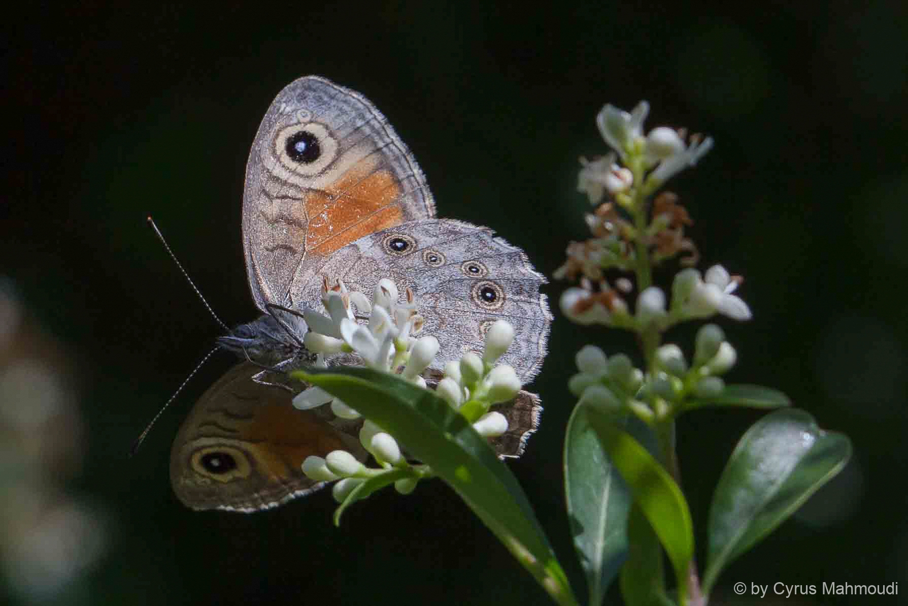 Lepidoptera-32