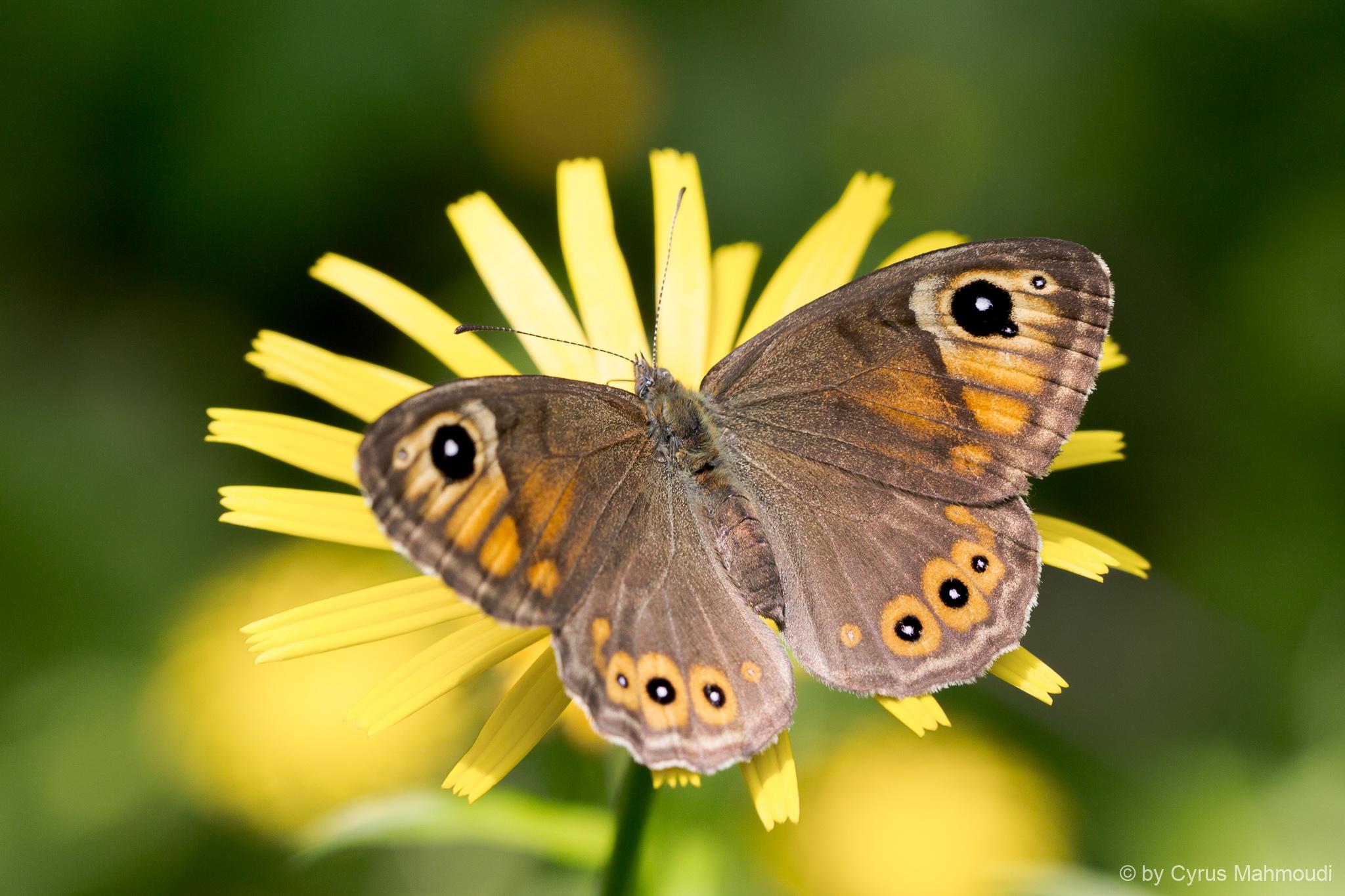 Lepidoptera-33