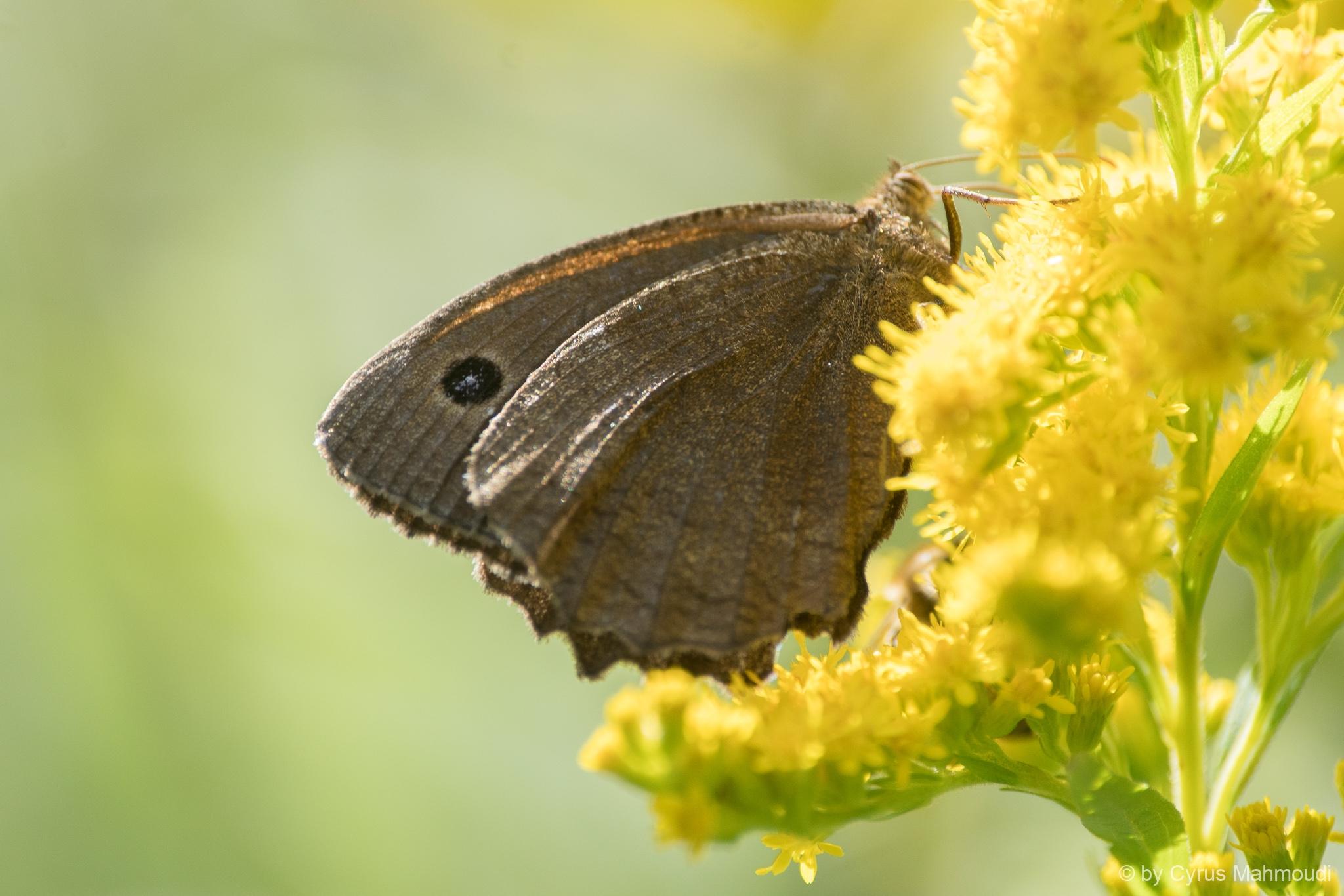 Lepidoptera-38