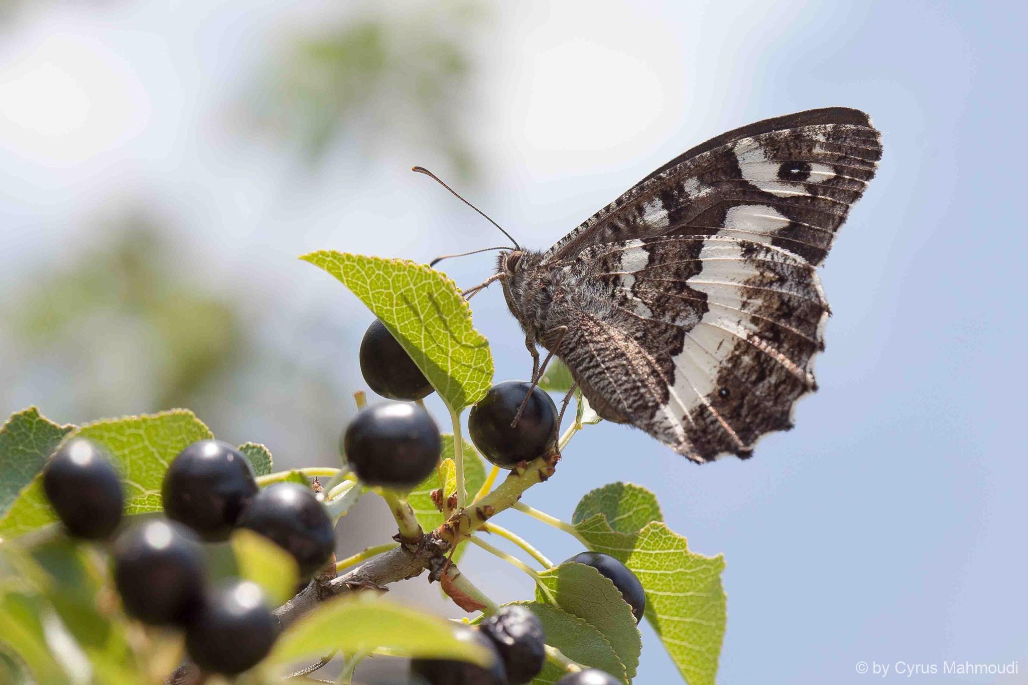 Lepidoptera-40