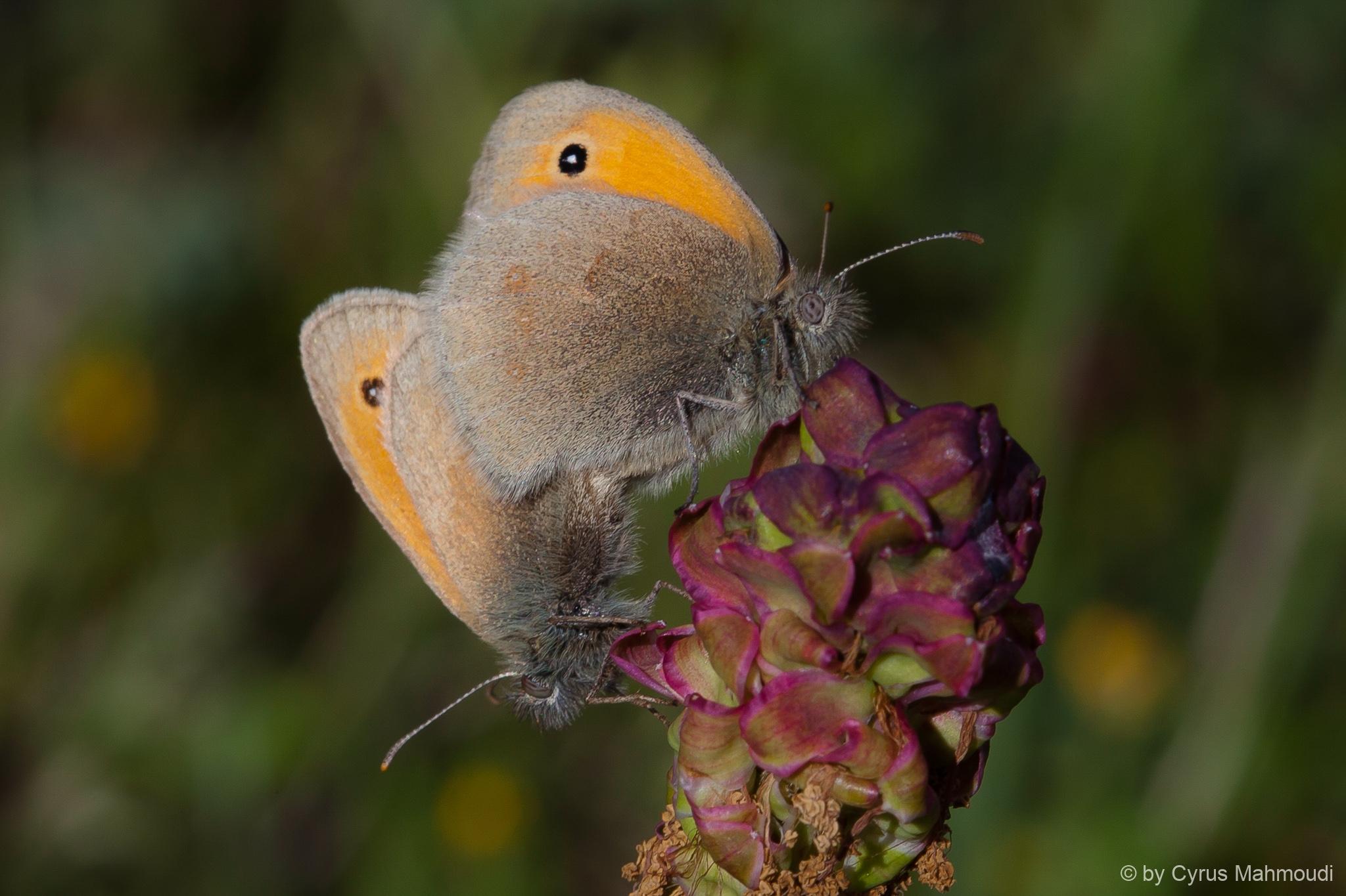 Lepidoptera-44