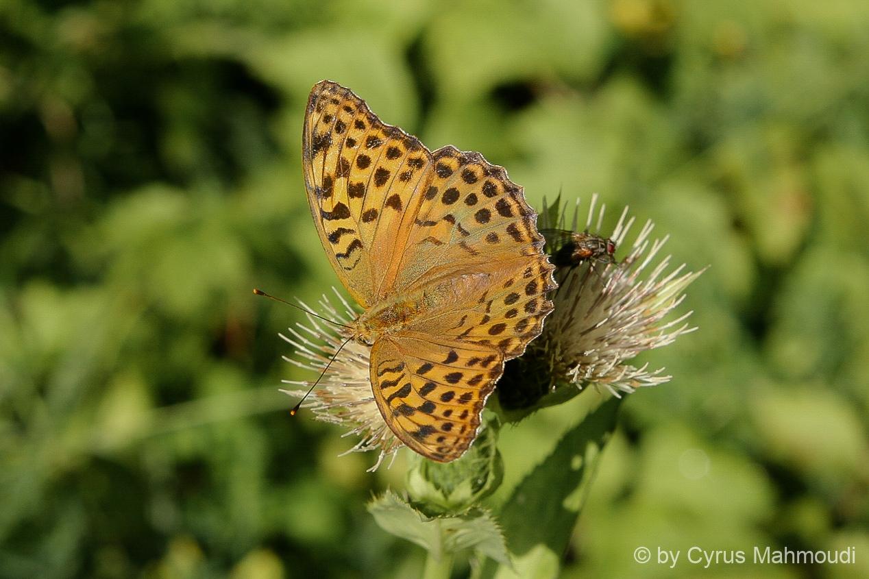 Lepidoptera-47
