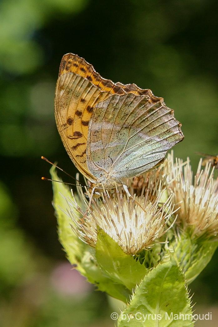 Lepidoptera-48