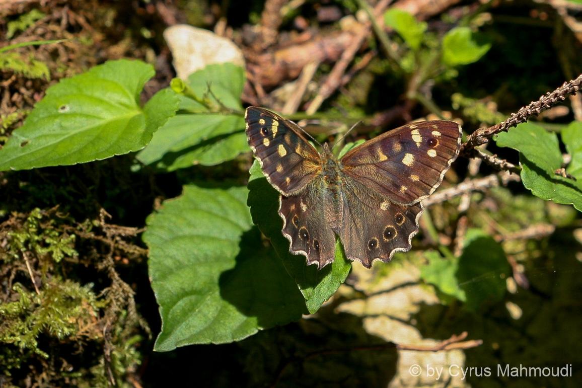 Lepidoptera-50