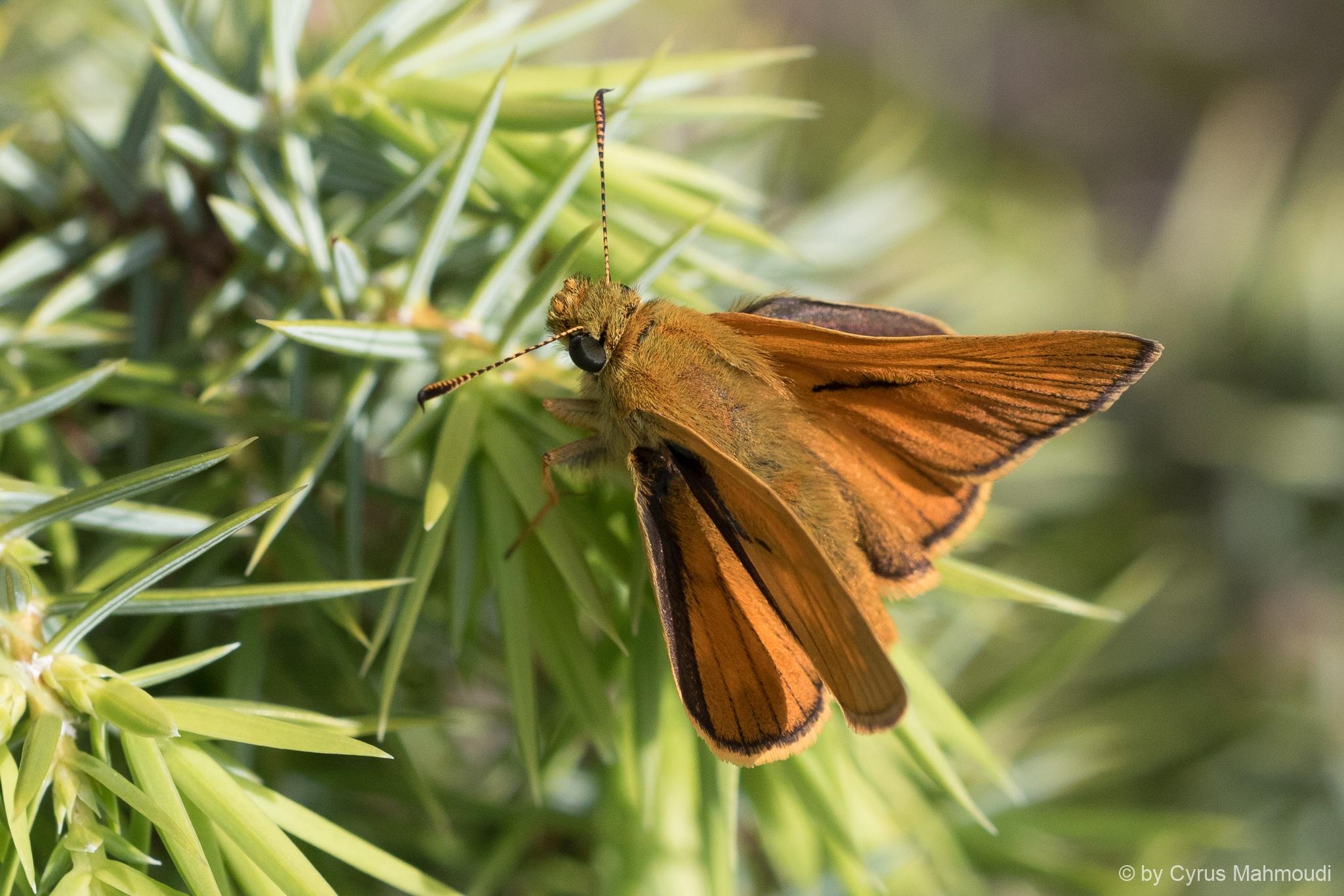 Lepidoptera-52