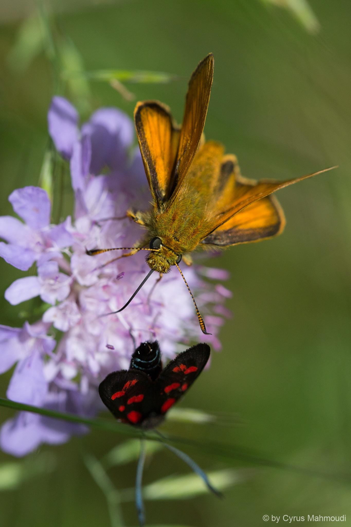 Lepidoptera-53