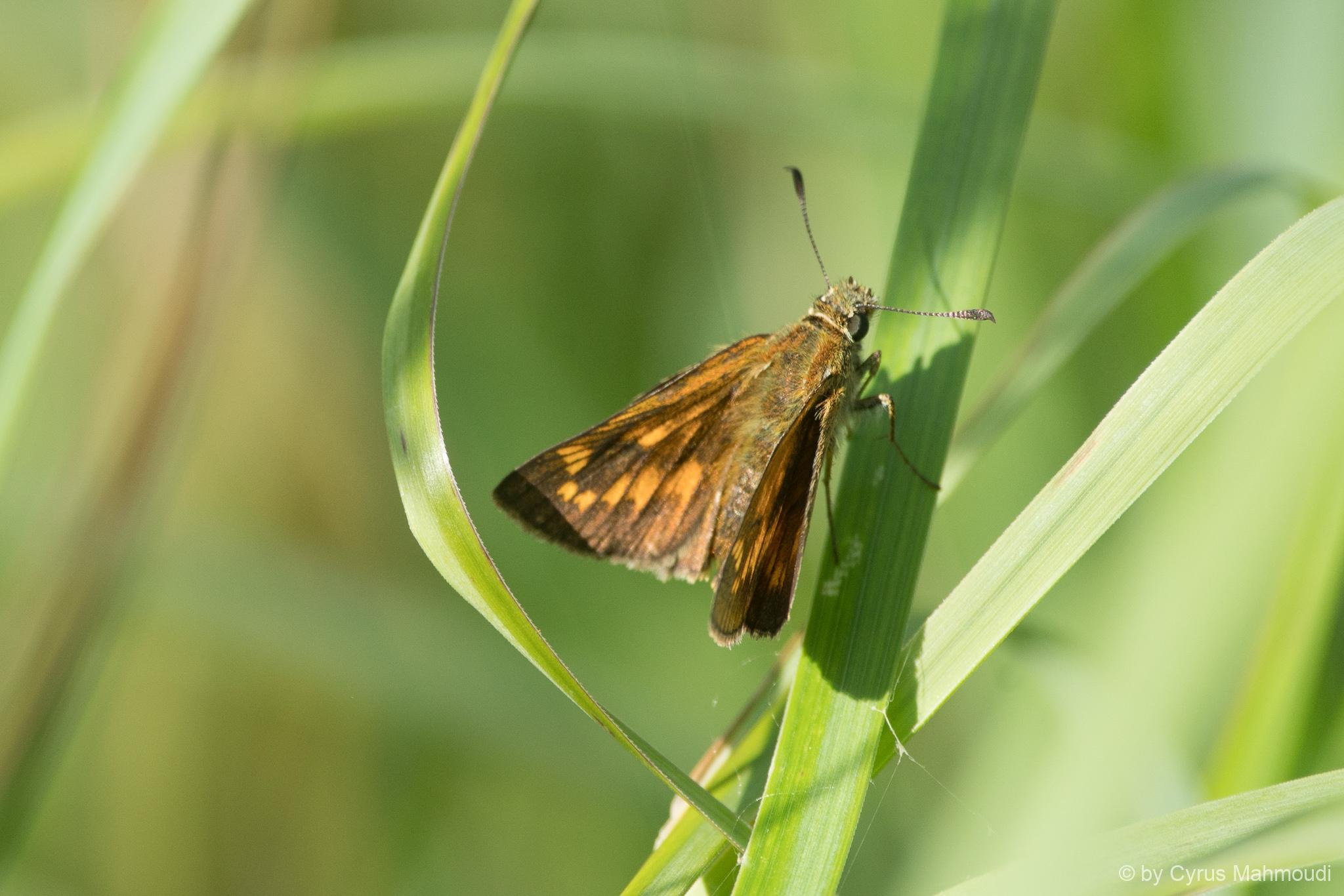 Lepidoptera-54