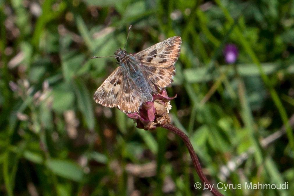 Lepidoptera-55