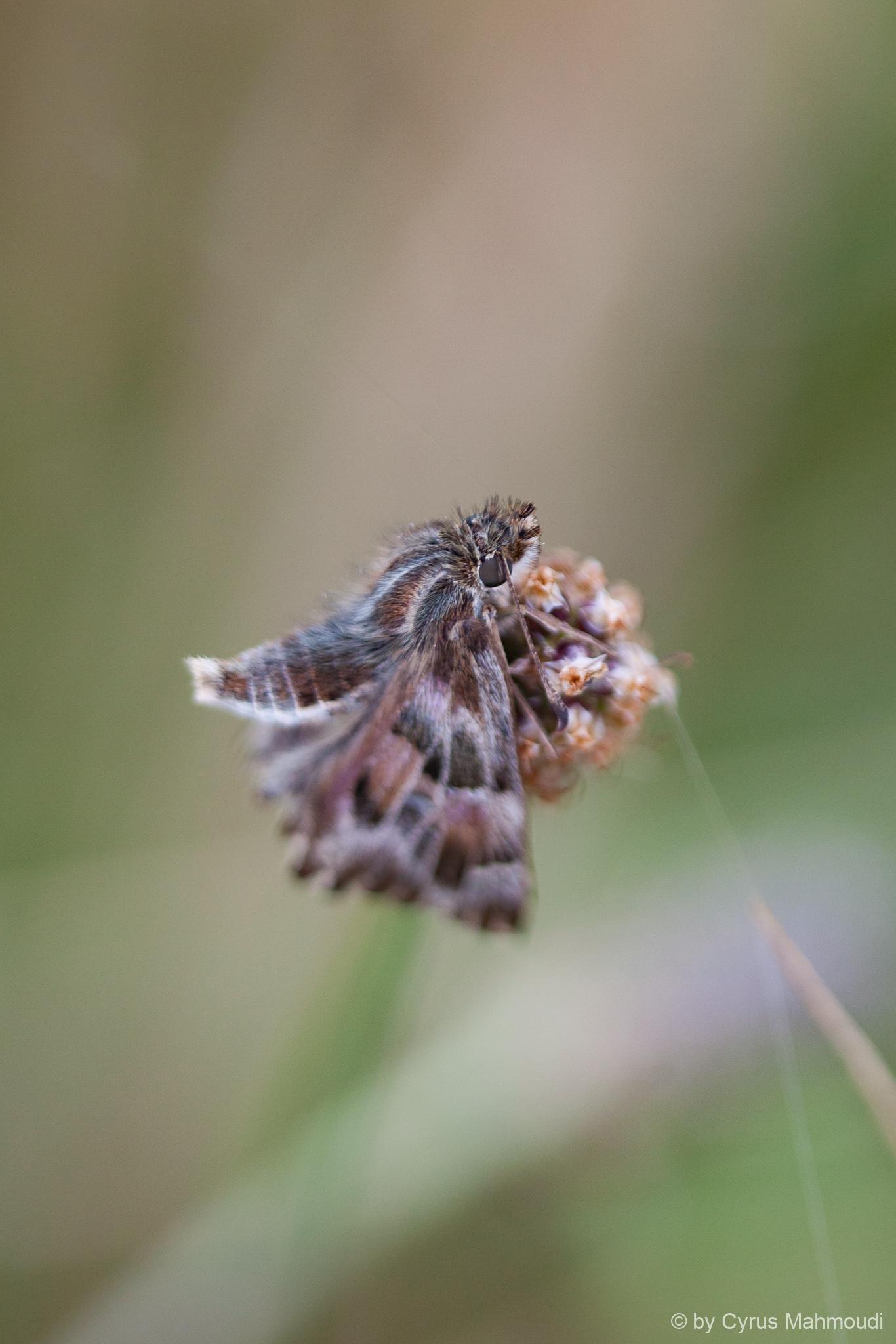 Lepidoptera-56