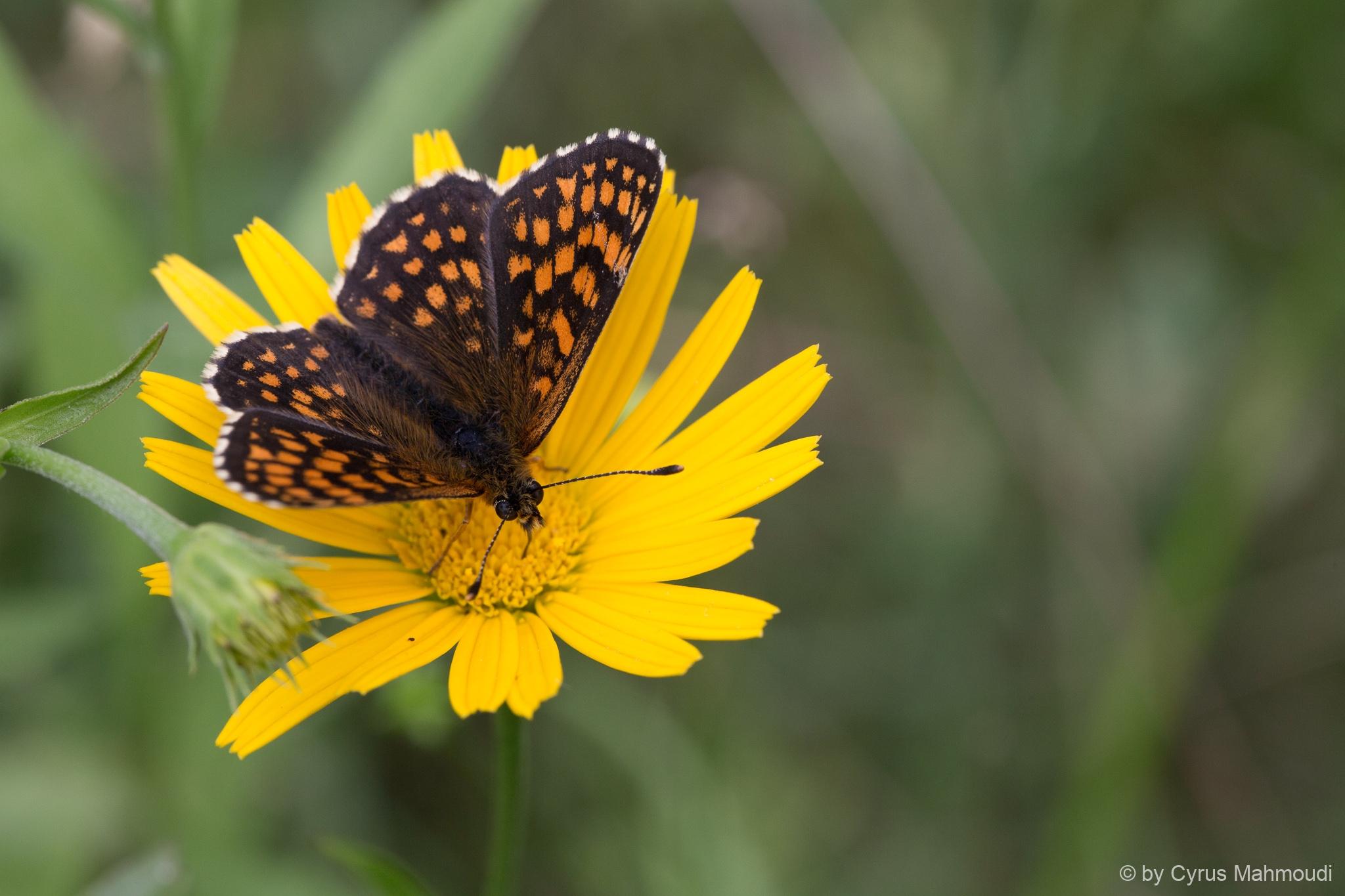 Lepidoptera-57