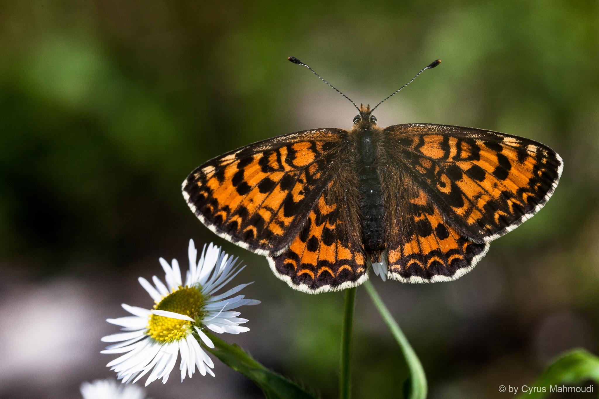 Lepidoptera-58
