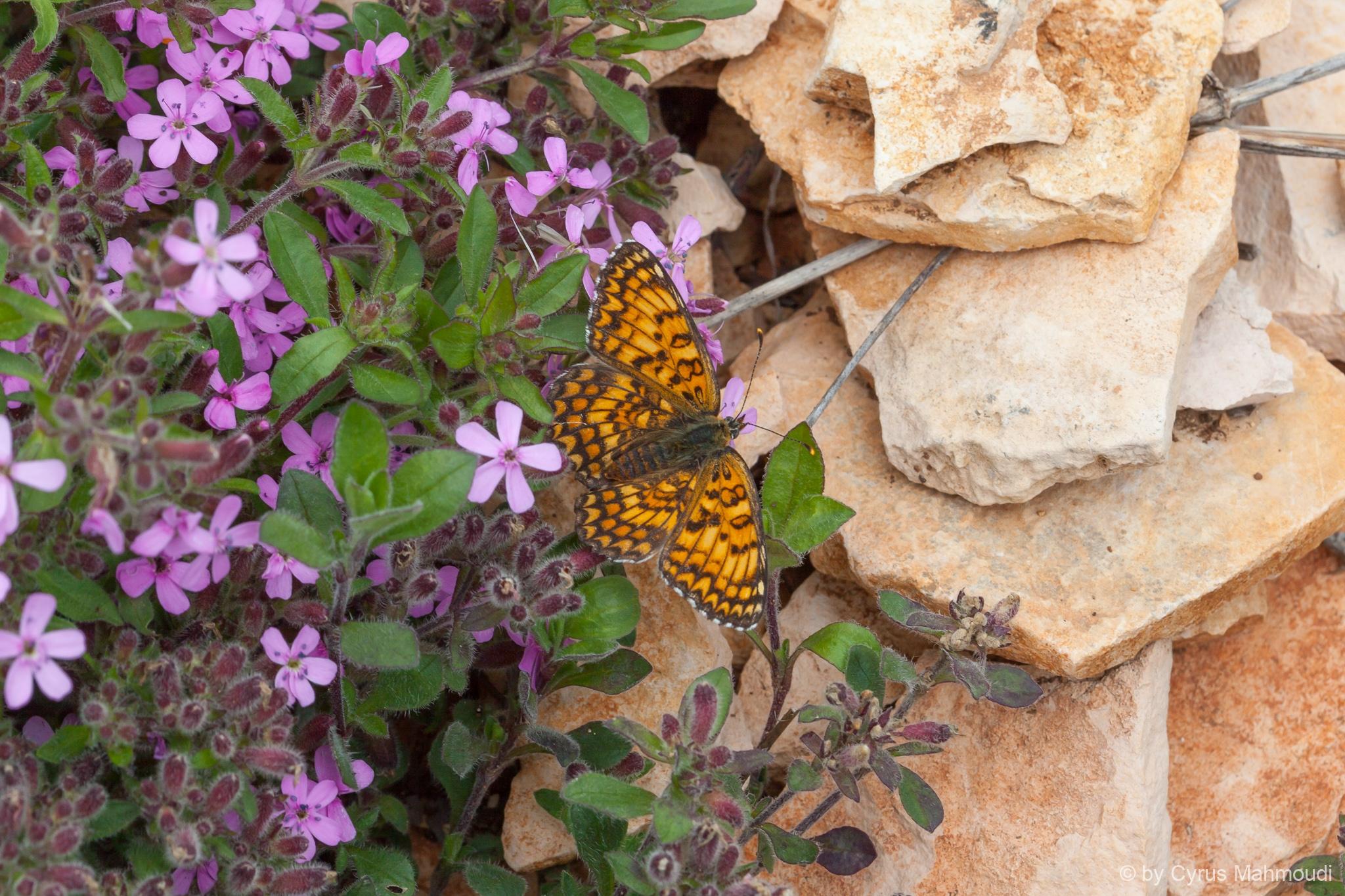 Lepidoptera-60
