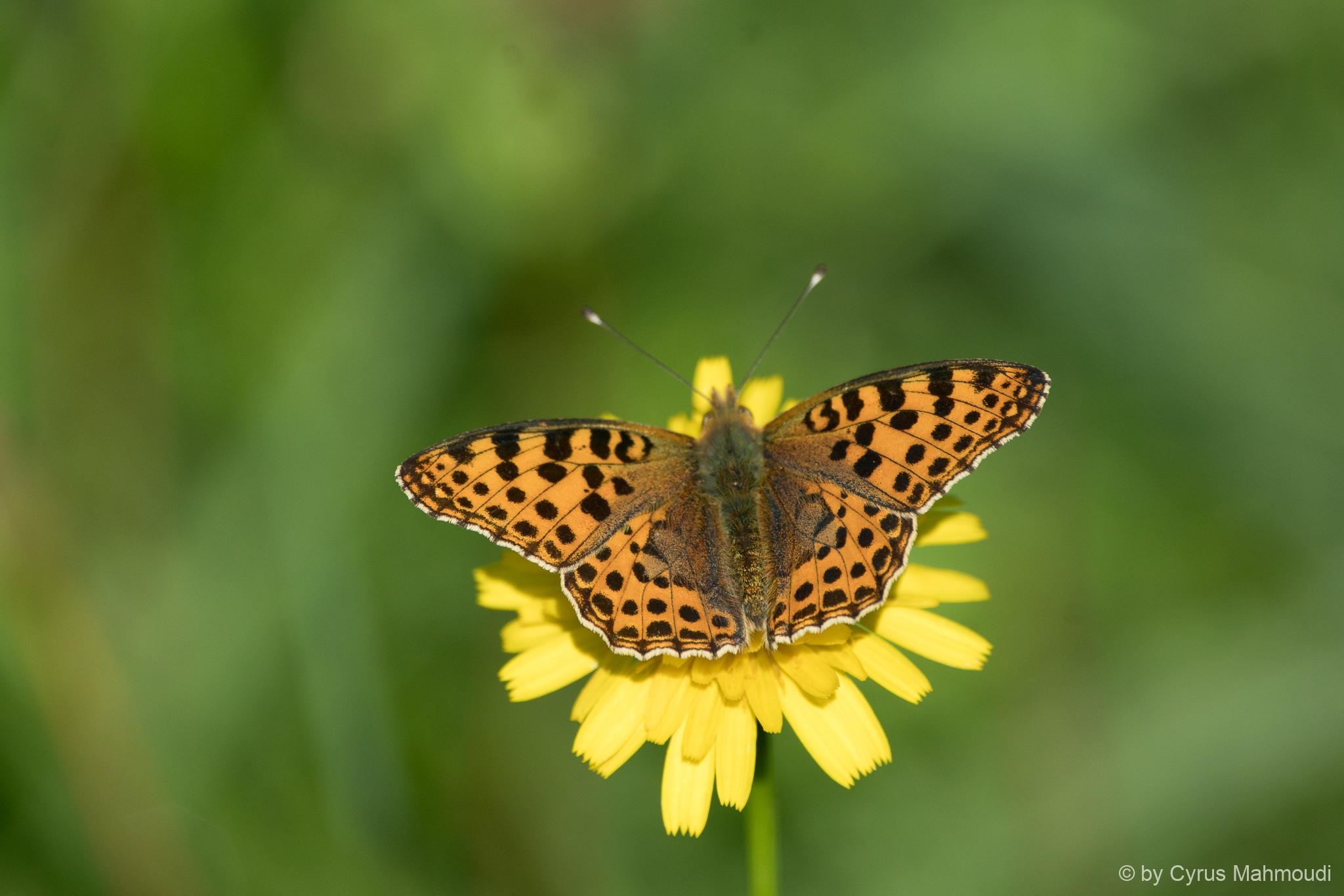 Lepidoptera-64