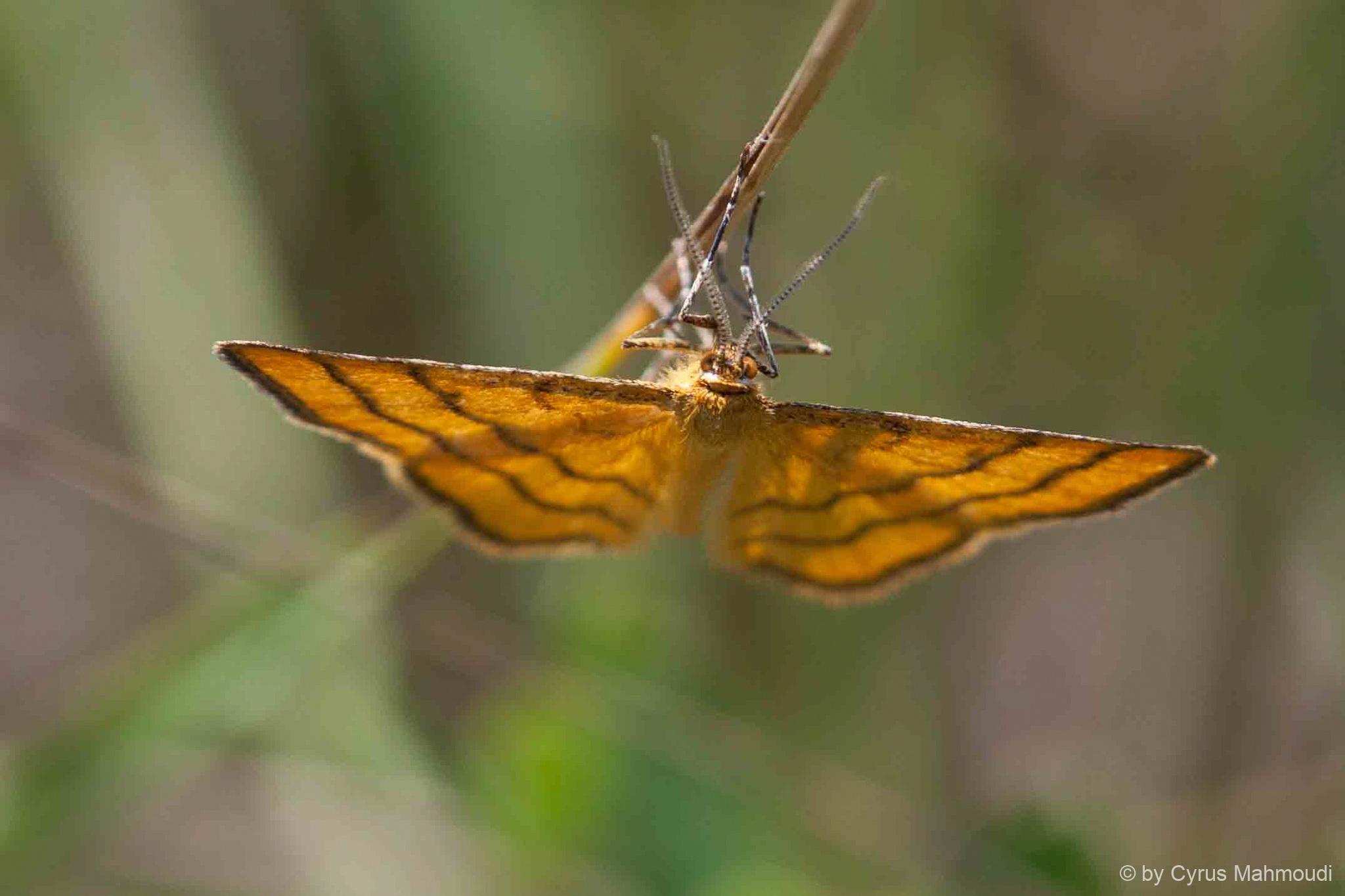 Lepidoptera-71