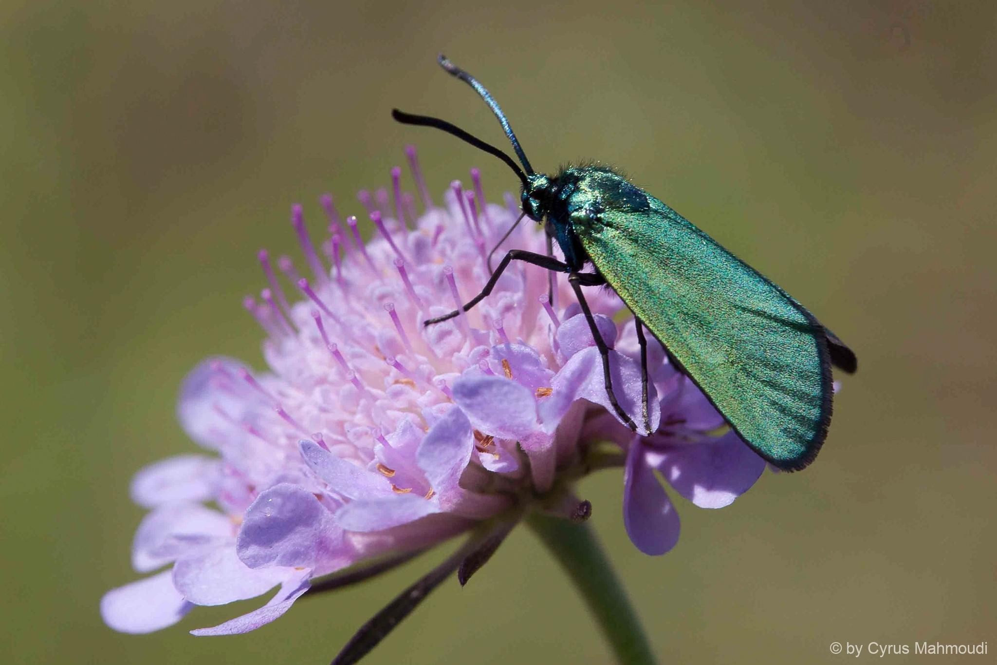 Lepidoptera-74