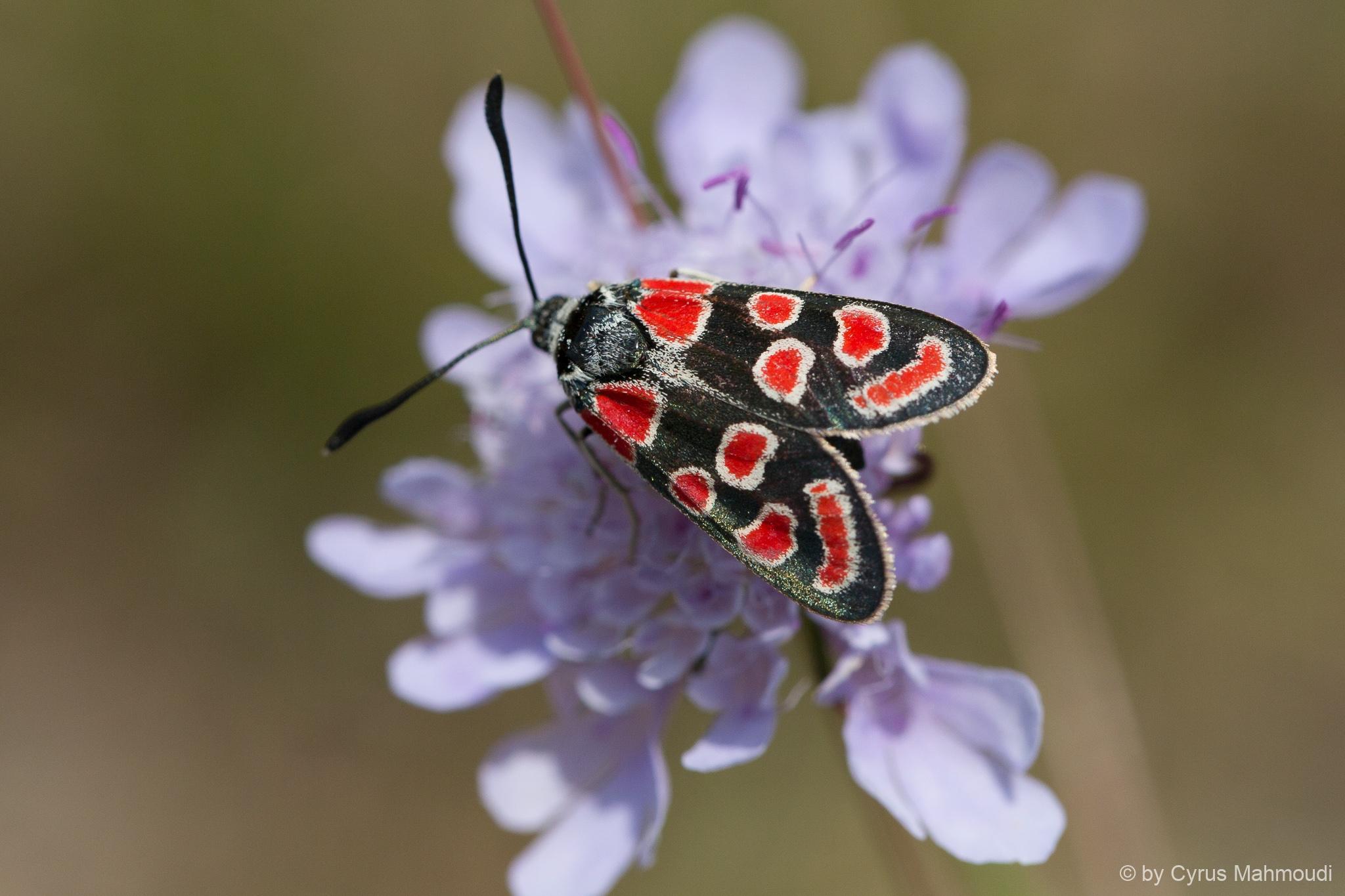 Lepidoptera-80