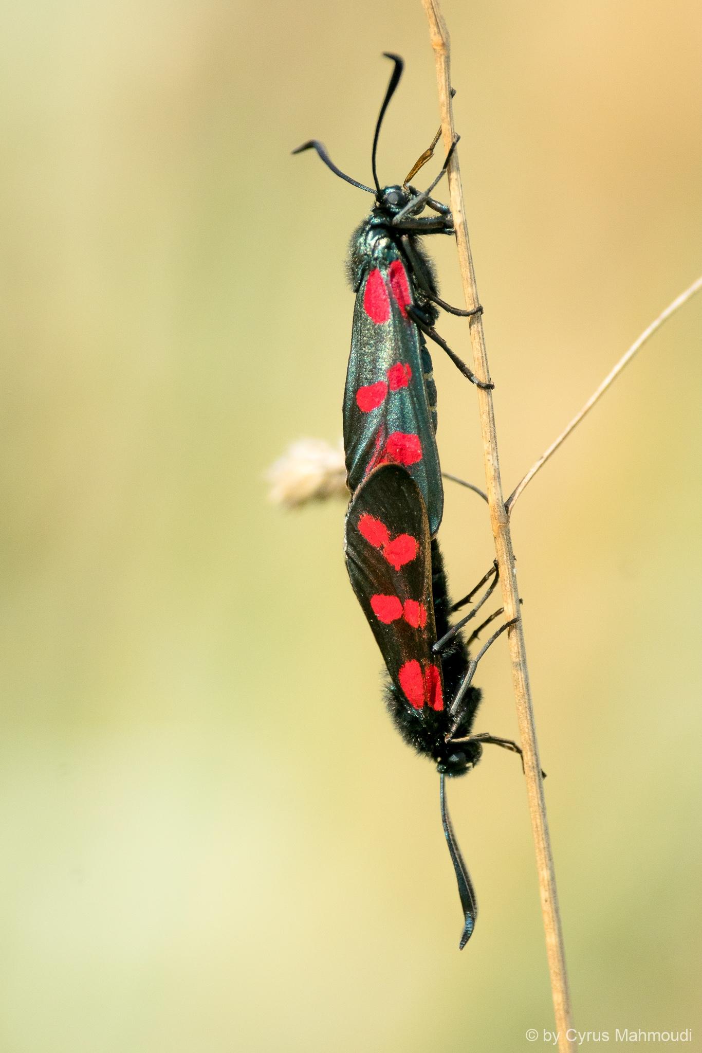 Lepidoptera-84
