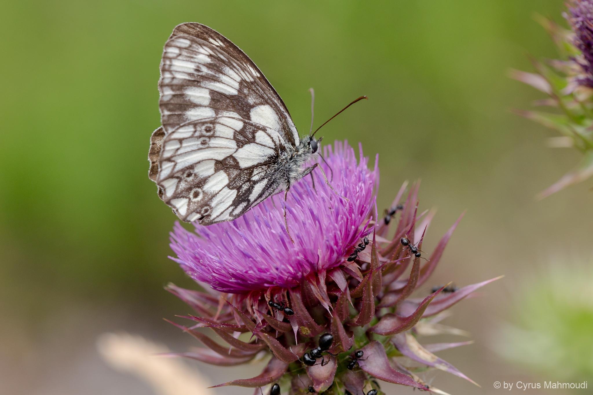 Lepidoptera-91