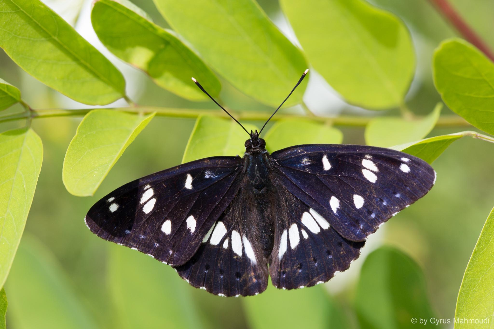 Lepidoptera-96