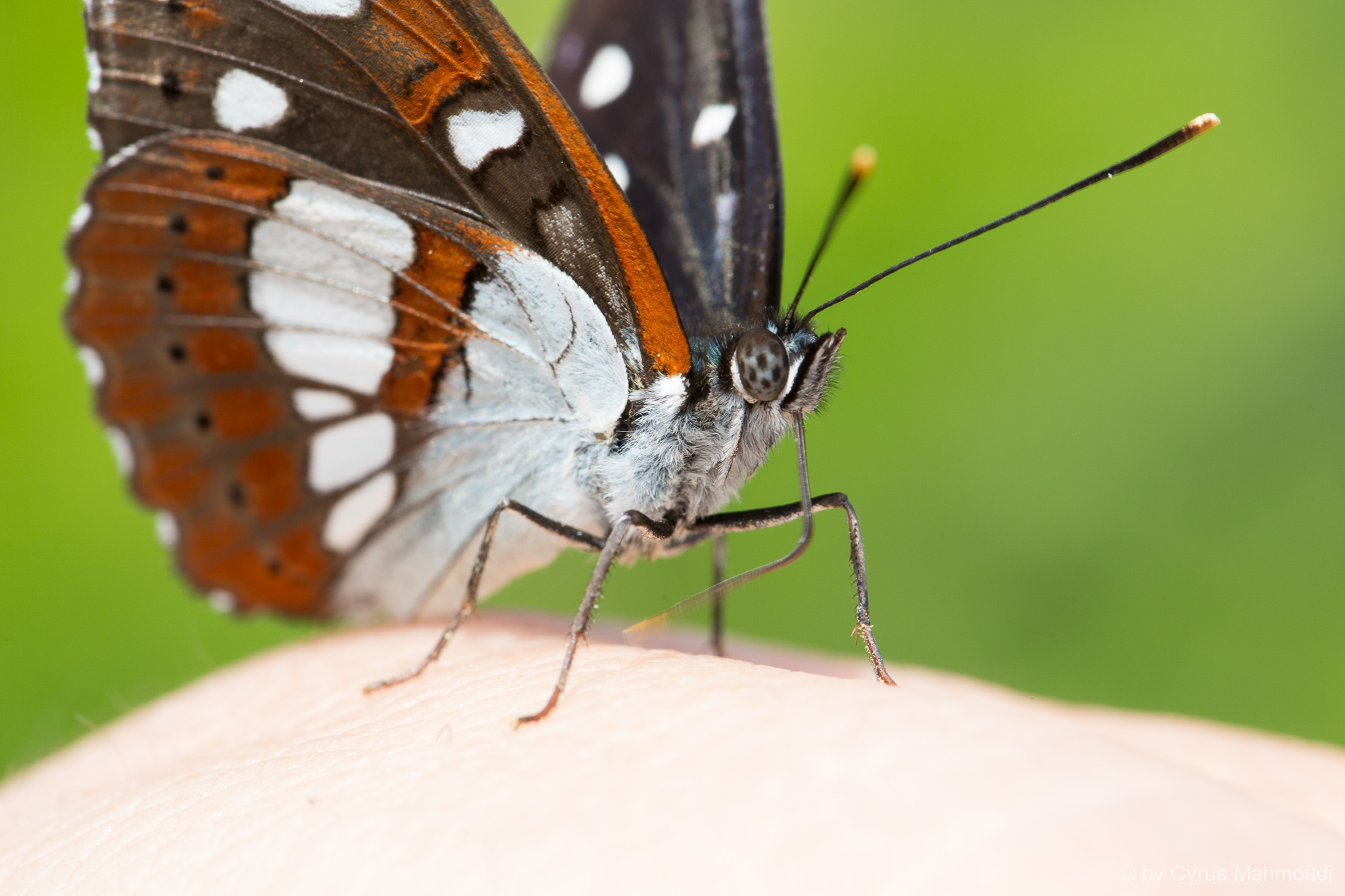 Lepidoptera-97