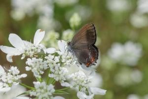 Lepidoptera-20