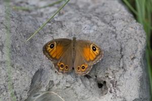Lepidoptera-34