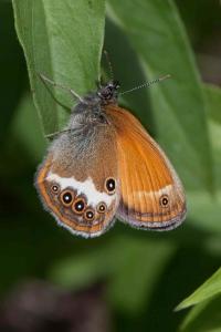 Lepidoptera-42